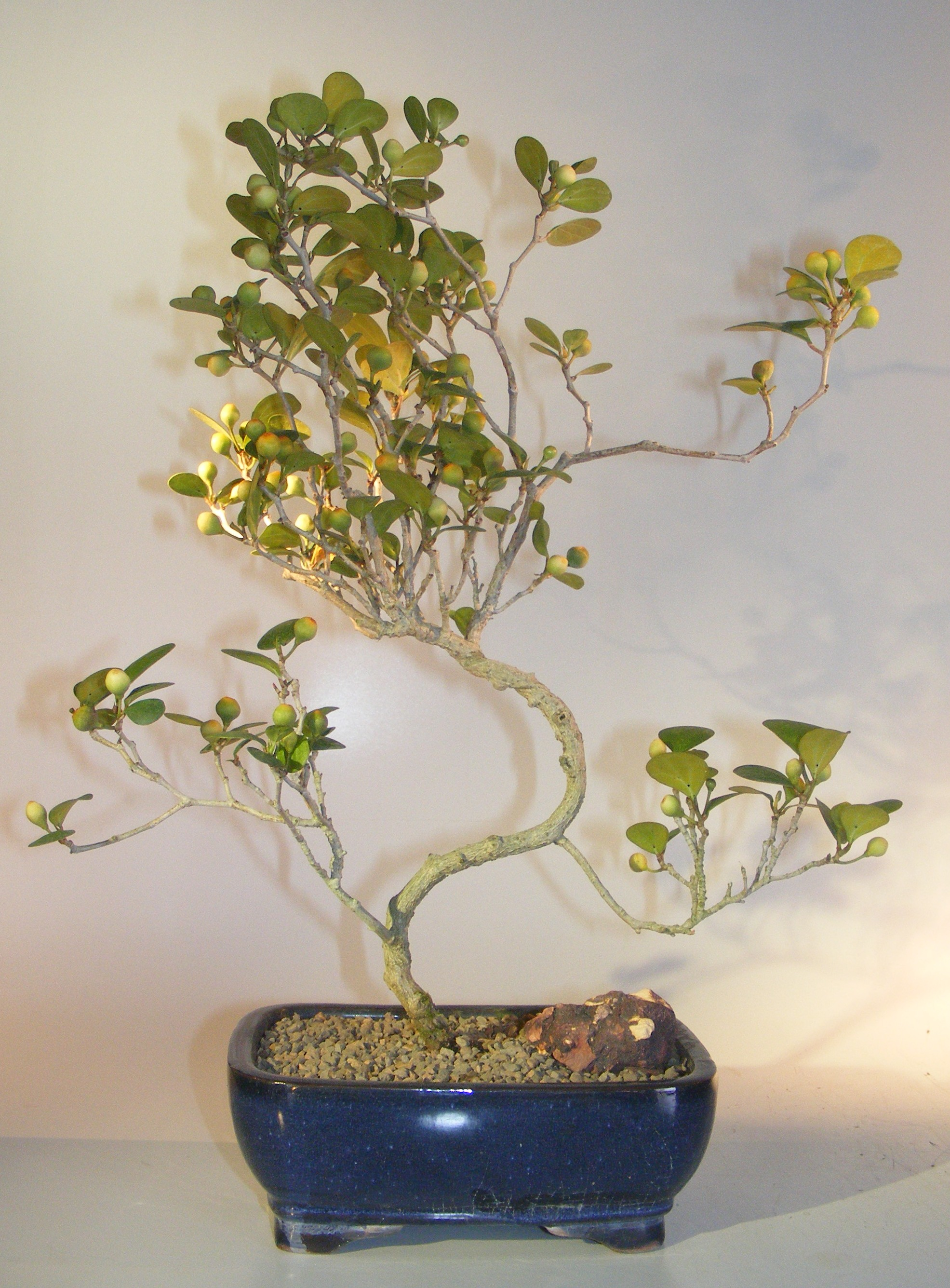 Mistletoe Fig Bonsai TreeCurved Trunk Style(ficus diversifolia) Image