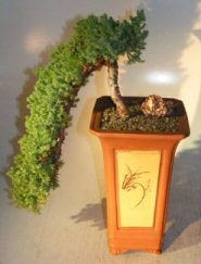 Juniper Bonsai Tree Cascade Juniper Procumbens Nana