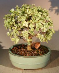 Baby Jade Bonsai Tree Variegated Portulacaria Afra