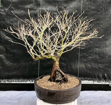 Japanese Maple Bonsai Tree Root Over Rock
