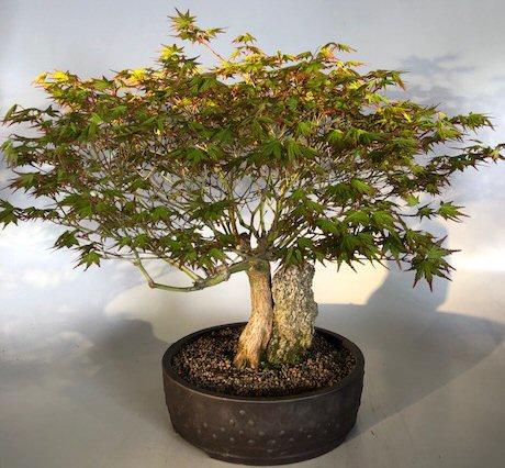 Japanese Maple Bonsai Tree Root Over Rock Acer Palmatum