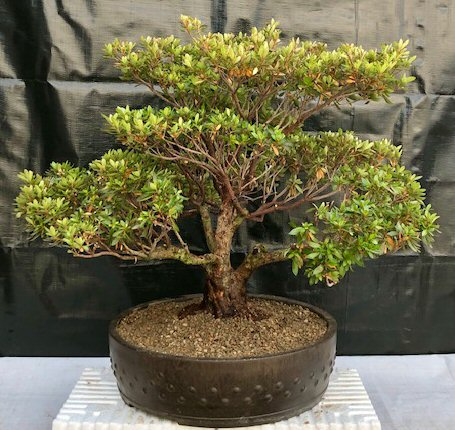 Flowering Chinzan Azalea Bonsai Tree