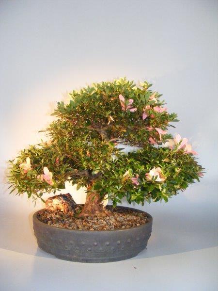 Flowering Japanese Satsuki Azalea Bonsai Tree Rhododendron Indicum