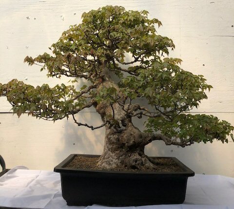 Trident Maple Bonsai Tree Acer Buergerianum