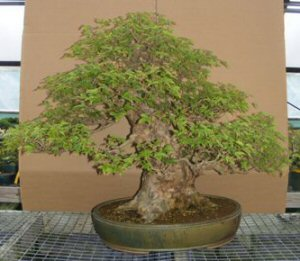 Trident Maple Bonsai Tree <br><i>(acer buergerianum)</i>