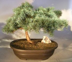 Prostrate Beauty Deodar Cedar Bonsai Tree Cedrus Deodara Prostrate Beauty