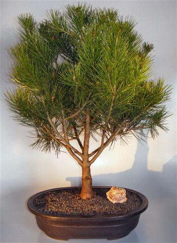 Chinese Lacebark Pine Pinus Bungeana Rowe Arboretum