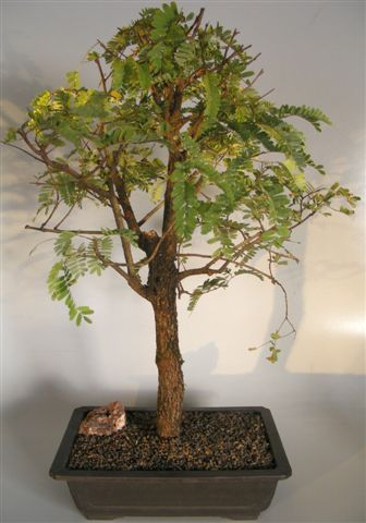 Flowering Tamarind Bonsai Tree Tamarindus Indica