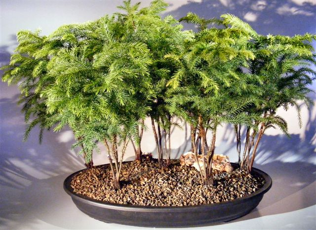 Norfolk Island Pine Bonsai Tree Forest Seven Cluster Planting Araucaria Heterophila