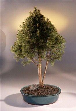 Alberta Spruce Bonsai Tree Picea Glauca Conica