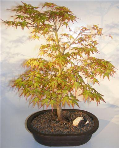 Dwarf Japanese Maple Bonsai Tree Acer Palmatum Capercis Dwarf
