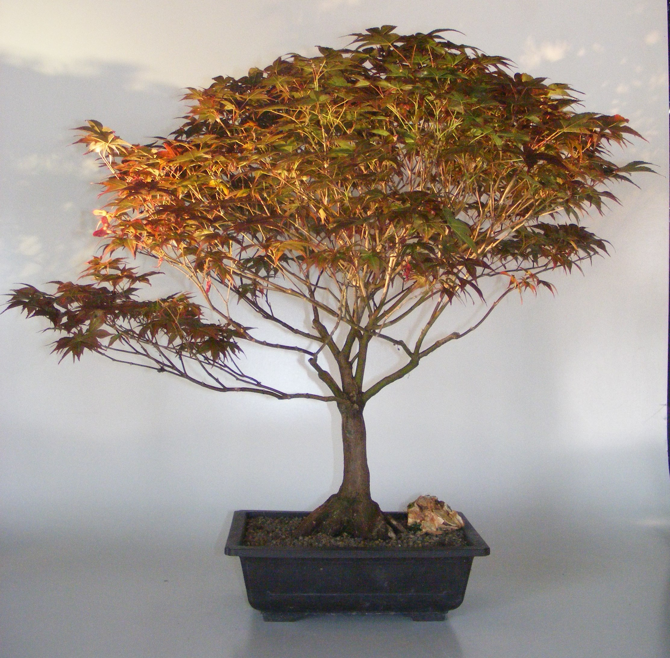 Japanese Red Maple Bonsai Tree Acer Palmatum Rhode Island Red