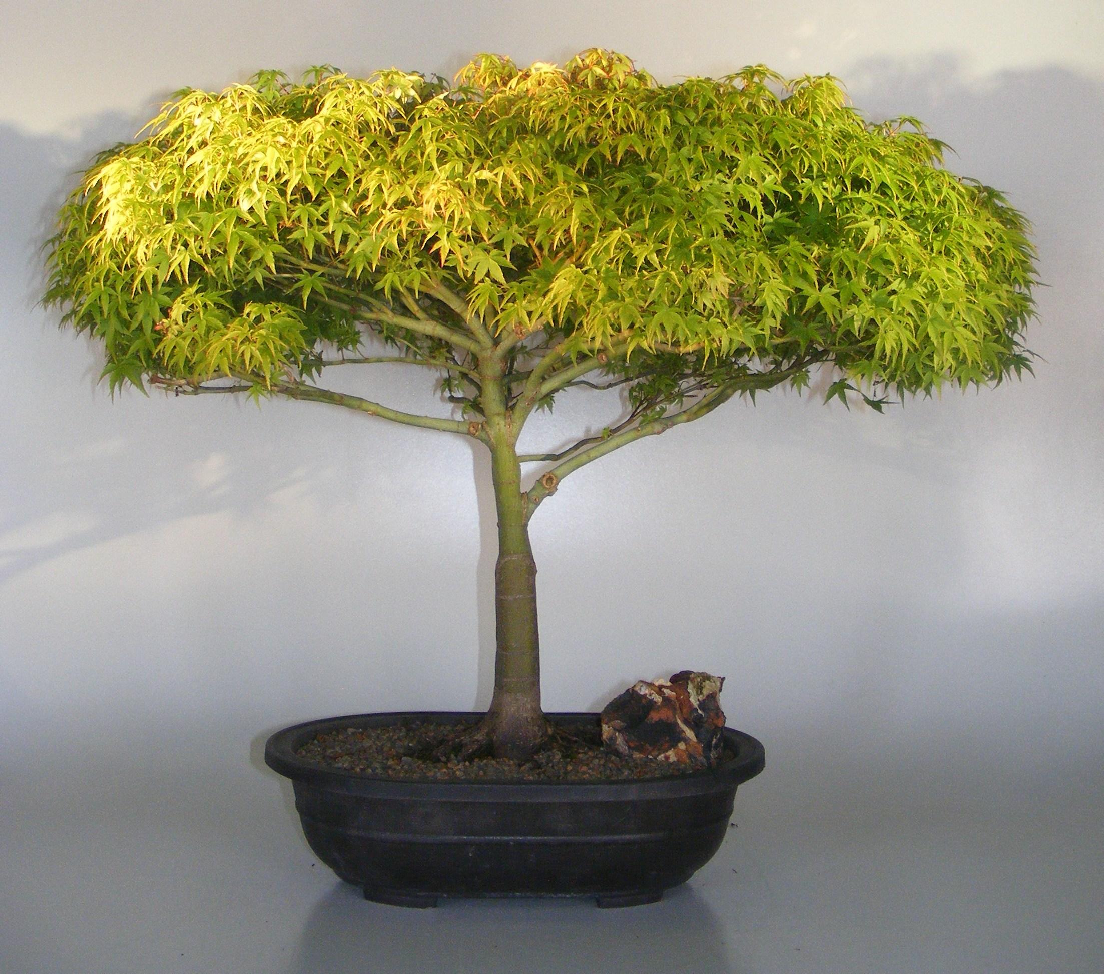 Dwarf Japanese Maple Bonsai Tree(acer palmatum 'Capercis Dwarf') Image