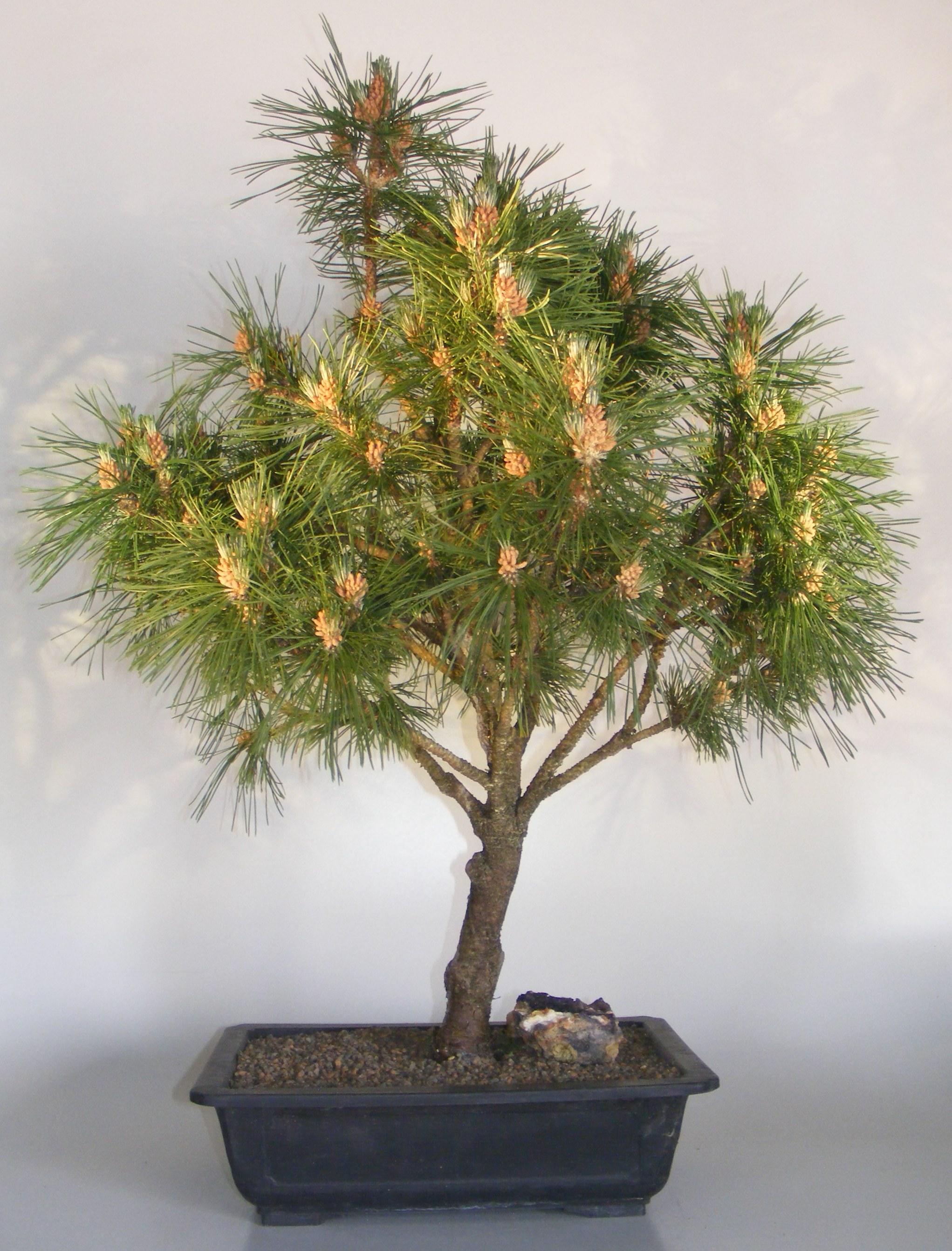 Mugo Pine Bonsai Tree(pinus mugo 'valley cushion') Image