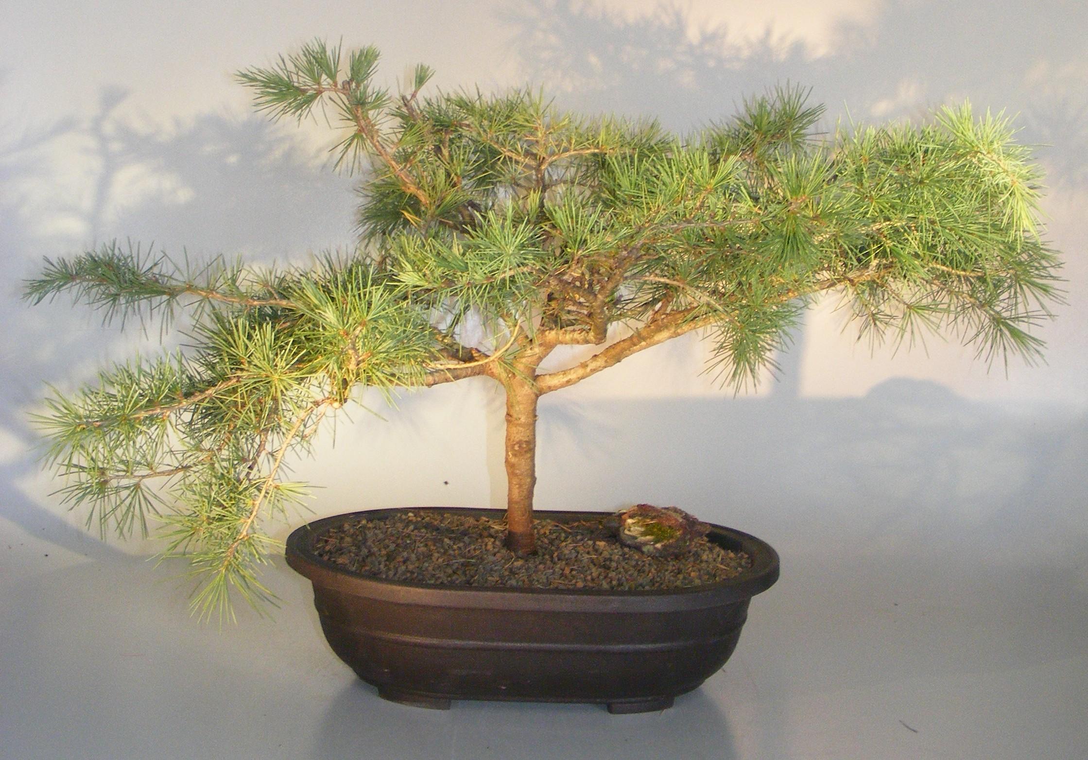 Deodar Cedar 'Snow Sprite' Bonsai Tree(cedrus deodara) Image