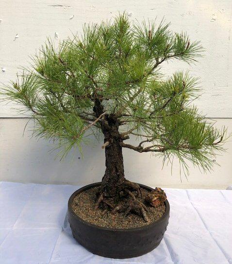 Eastern White Pine Bonsai Tree(pinus strobus 'elf') Image