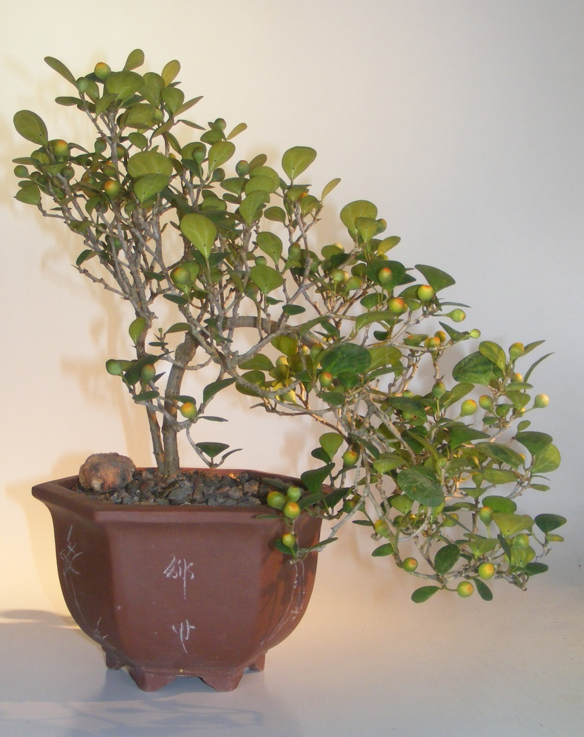 Mistletoe Fig Bonsai TreeCascade Style(ficus diversifolia) Image