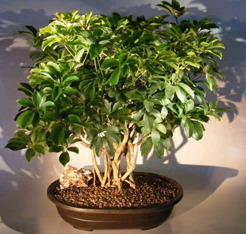 Hawaiian Umbrella Bonsai Tree Banyan Style (arboricola schefflera) Image