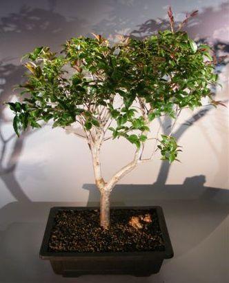 Jaboticaba Bonsai Tree (eugenia cauliflora)
