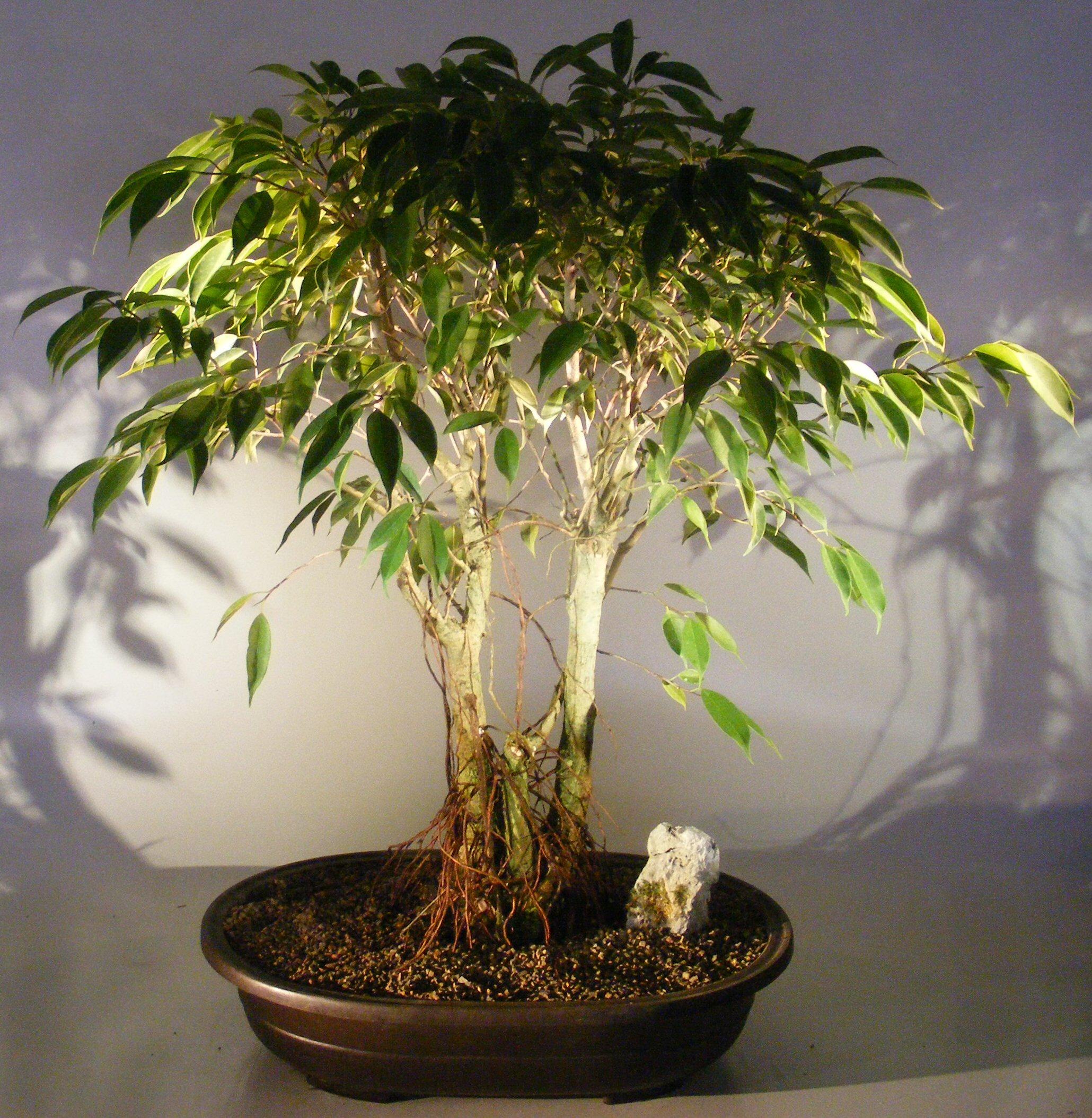 Ficus Midnight Bonsai Tree Exposed Roots Style Benjamina