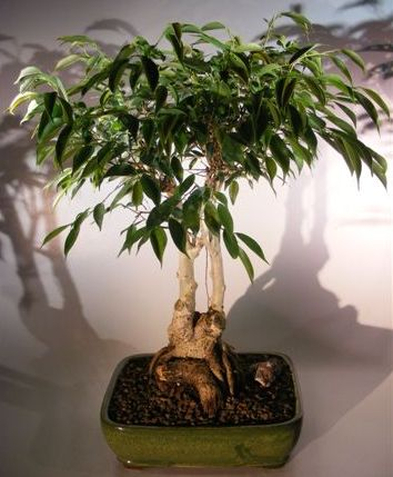 Ficus Midnight Bonsai Tree  Exposed Roots Style