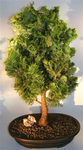 Dwarf Hinoki Cypress Bonsai Tree(chamecyparis gracillis)  Image
