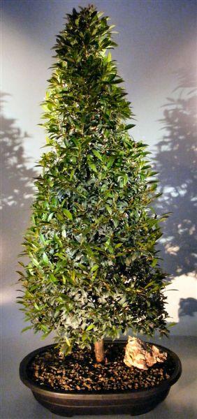 Flowering brush cherry christmas tree style eugenia for Pianta eugenia
