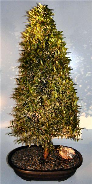 Flowering brush cherry bonsai tree small eugenia myrtifolia best australian brush cherry bonsai care best 2018 pre bonsai flowering brush cherry tree small eugenia mightylinksfo