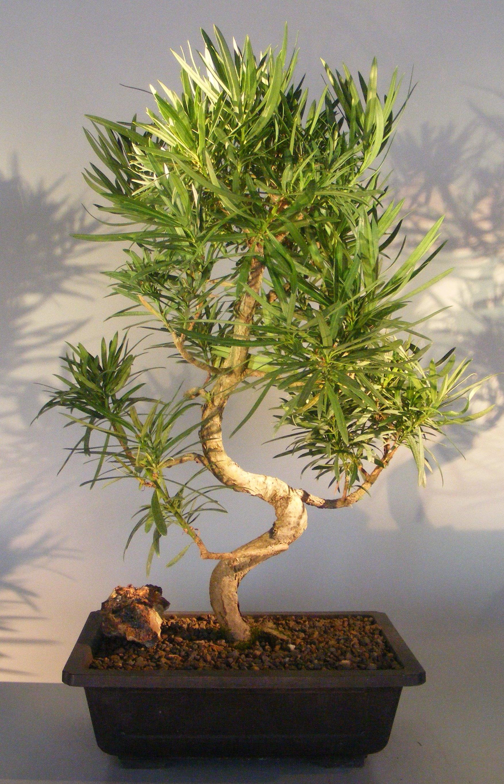 Flowering Podocarpus Bonsai Tree Curved Trunk Style Podocarpus Macrophyllus