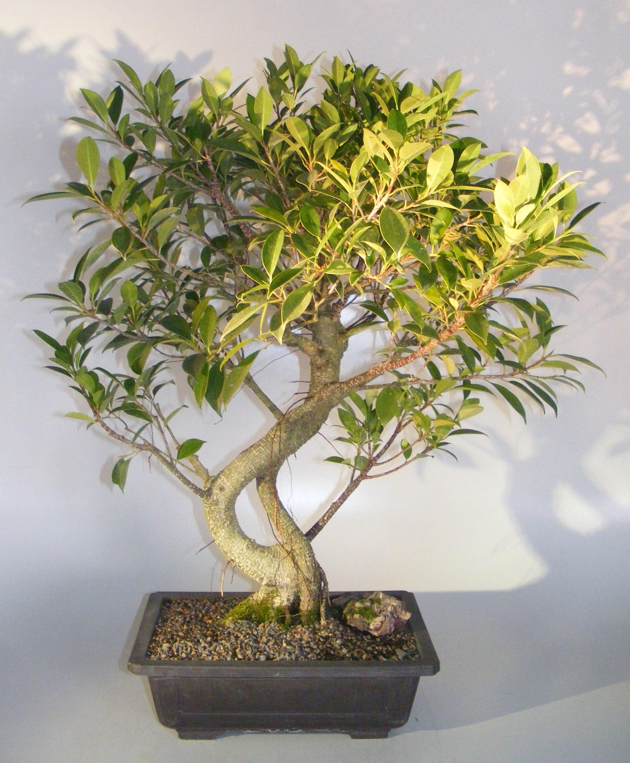Ficus Retusa Bonsai TreeCurved Trunk  (ficus retusa) Image