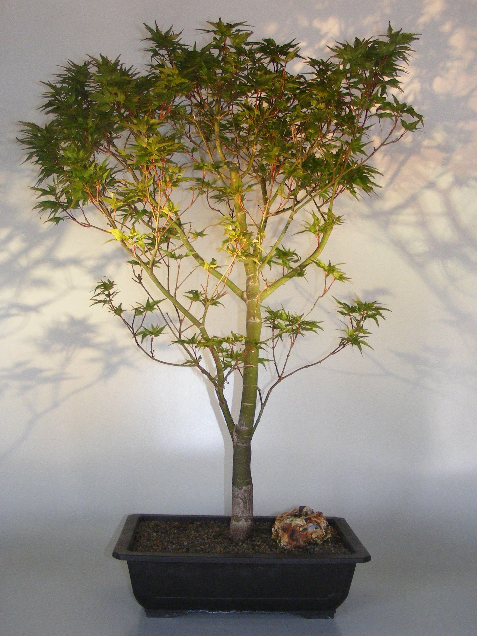Dwarf Japanese Maple Bonsai Tree(acer palmatum 'Taro yama') Image