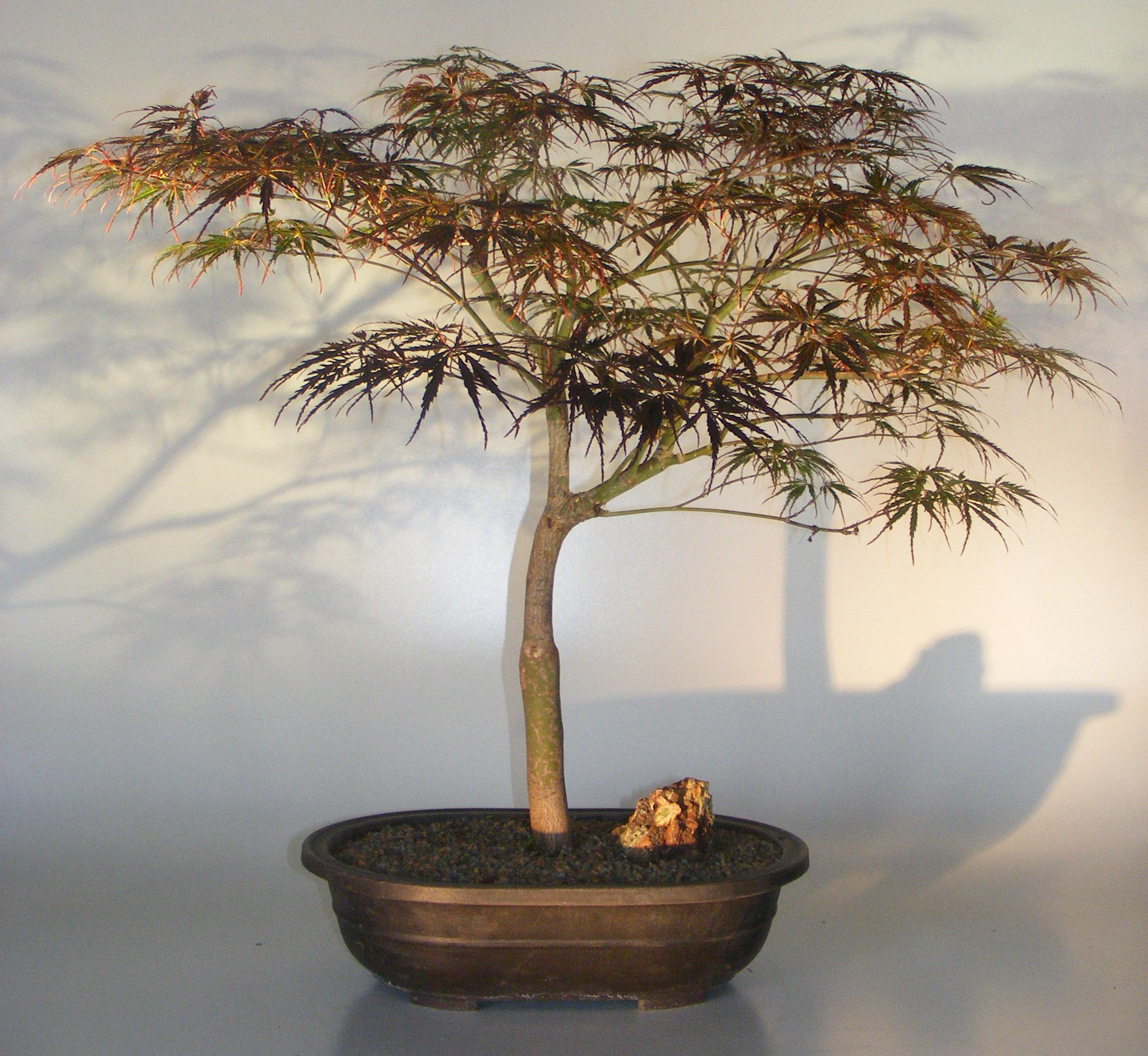 Japanese Red Maple Bonsai Tree(acer palmatum 'red feather') Image