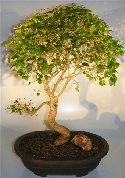 Flowering Ligustrum Bonsai Tree Curved Trunk Style