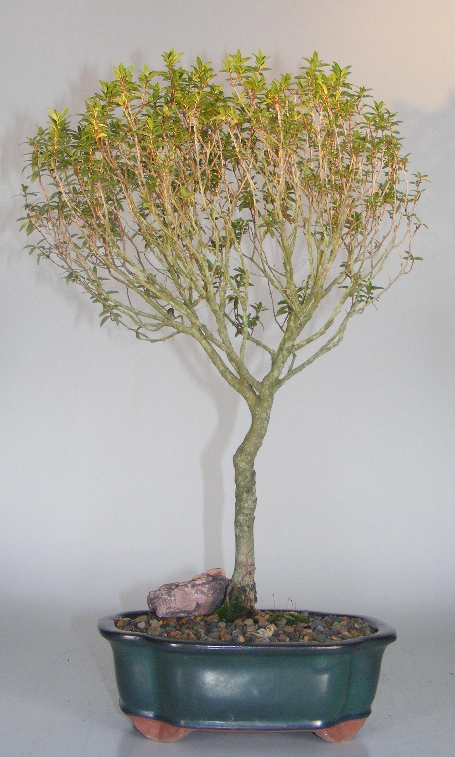 Flowering Myrtle Bonsai Tree(myrtus communis 'compacta') Image