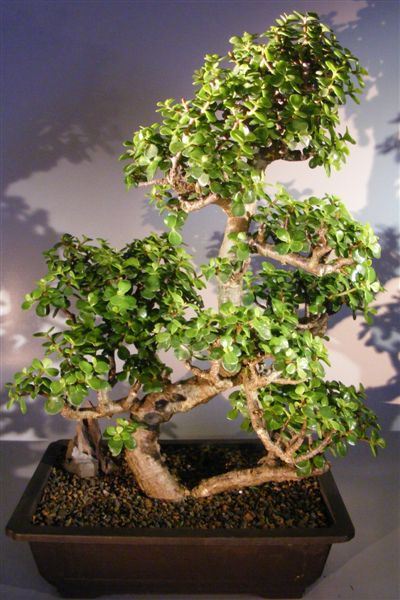 Baby Jade Bonsai Tree Multi Tiered Amp Curved Trunk