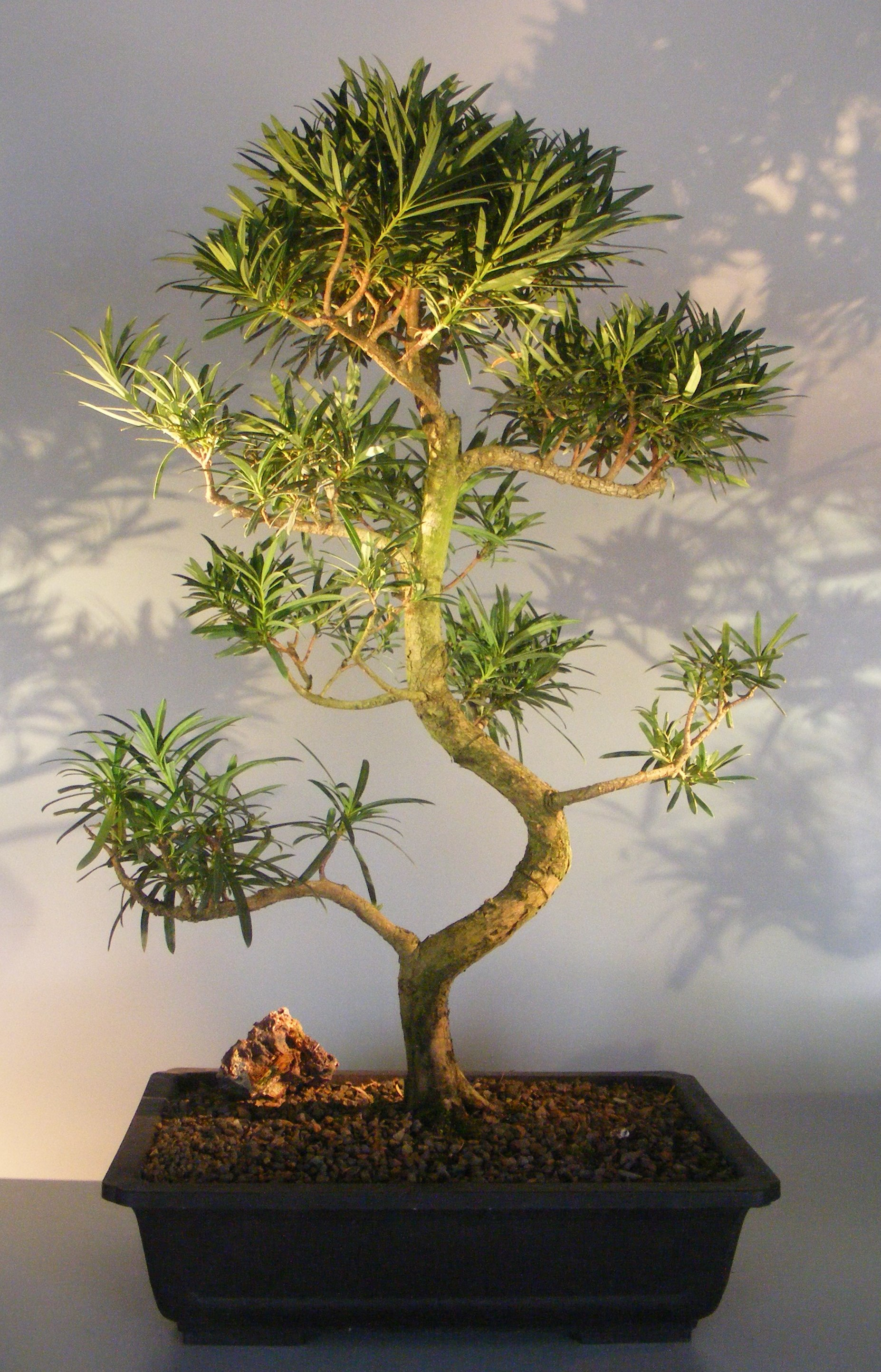 Flowering Podocarpus Bonsai Tree Curved Trunk Style Podocarpus Macrophyllus