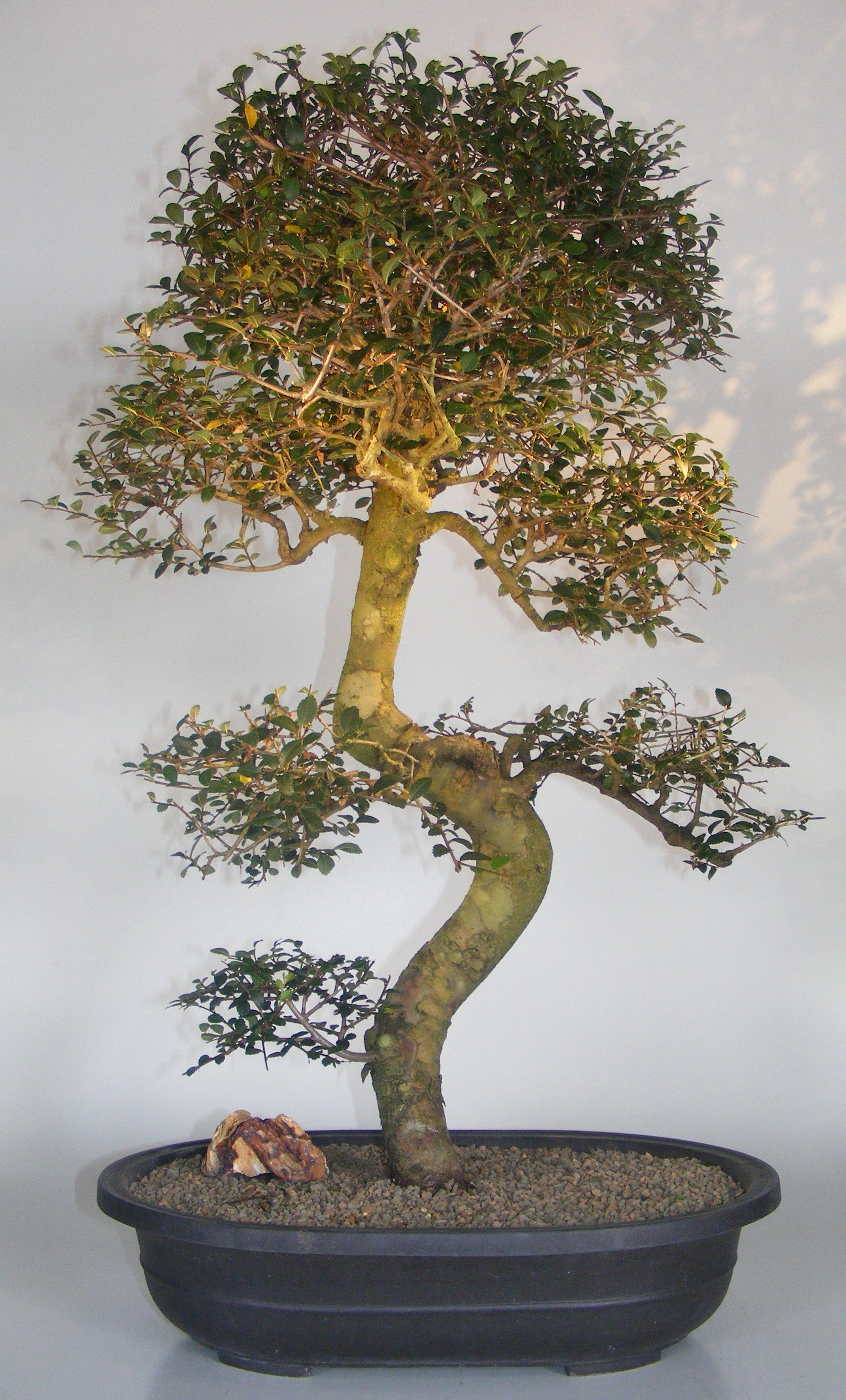 Chinese Elm Bonsai Tree Curved Trunk Tiered Branching Style Ulmus Parvifolia