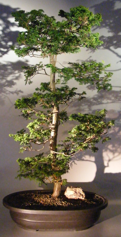 Dwarf Hinoki Cypress Bonsai Tree(obtusa compressa 'nana') Image