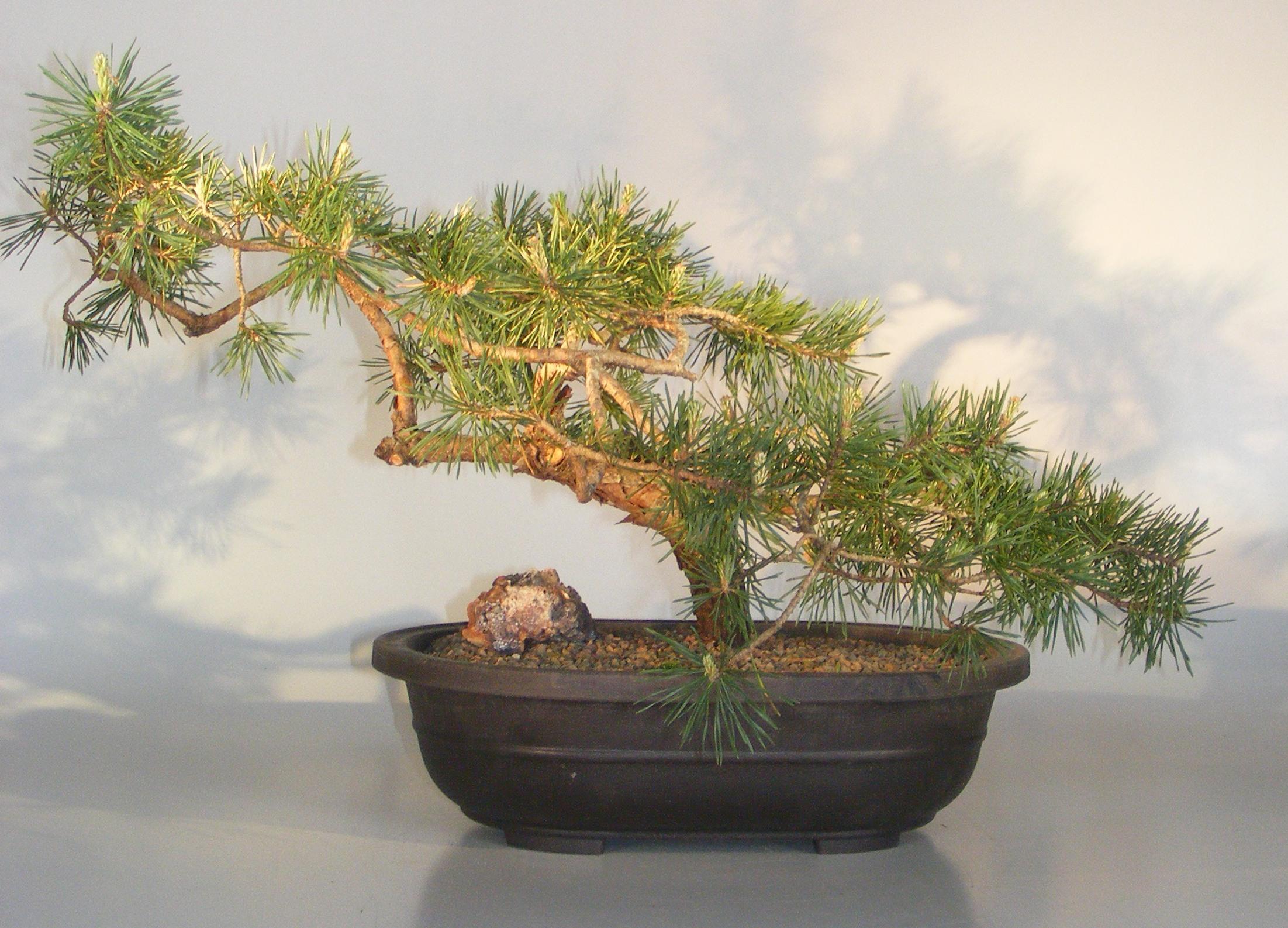 Scots Pine Bonsai Tree Pinus Sylvestris Tabulaeformis