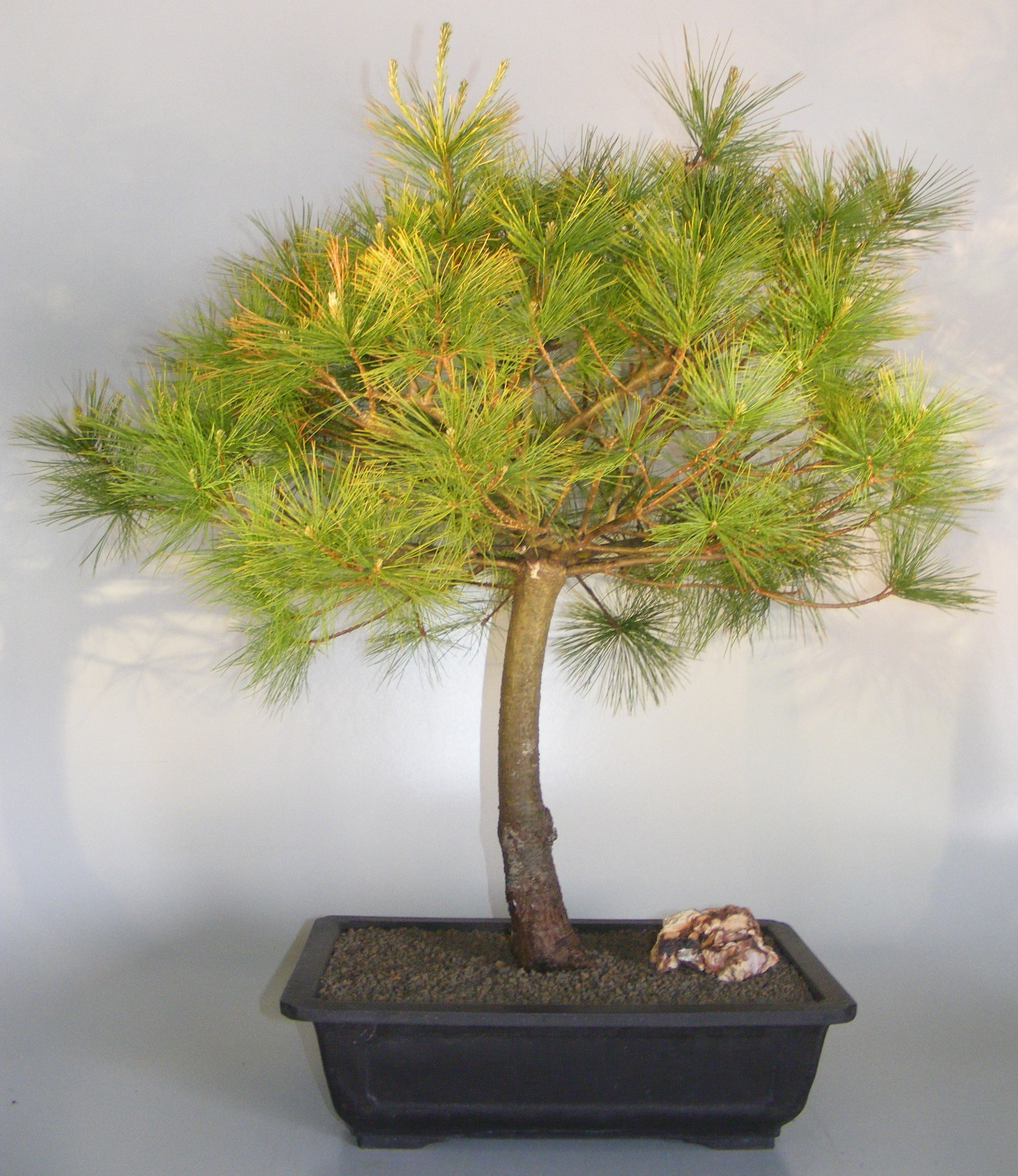 Japanese White Pine Bonsai Tree Pinus Parviflora
