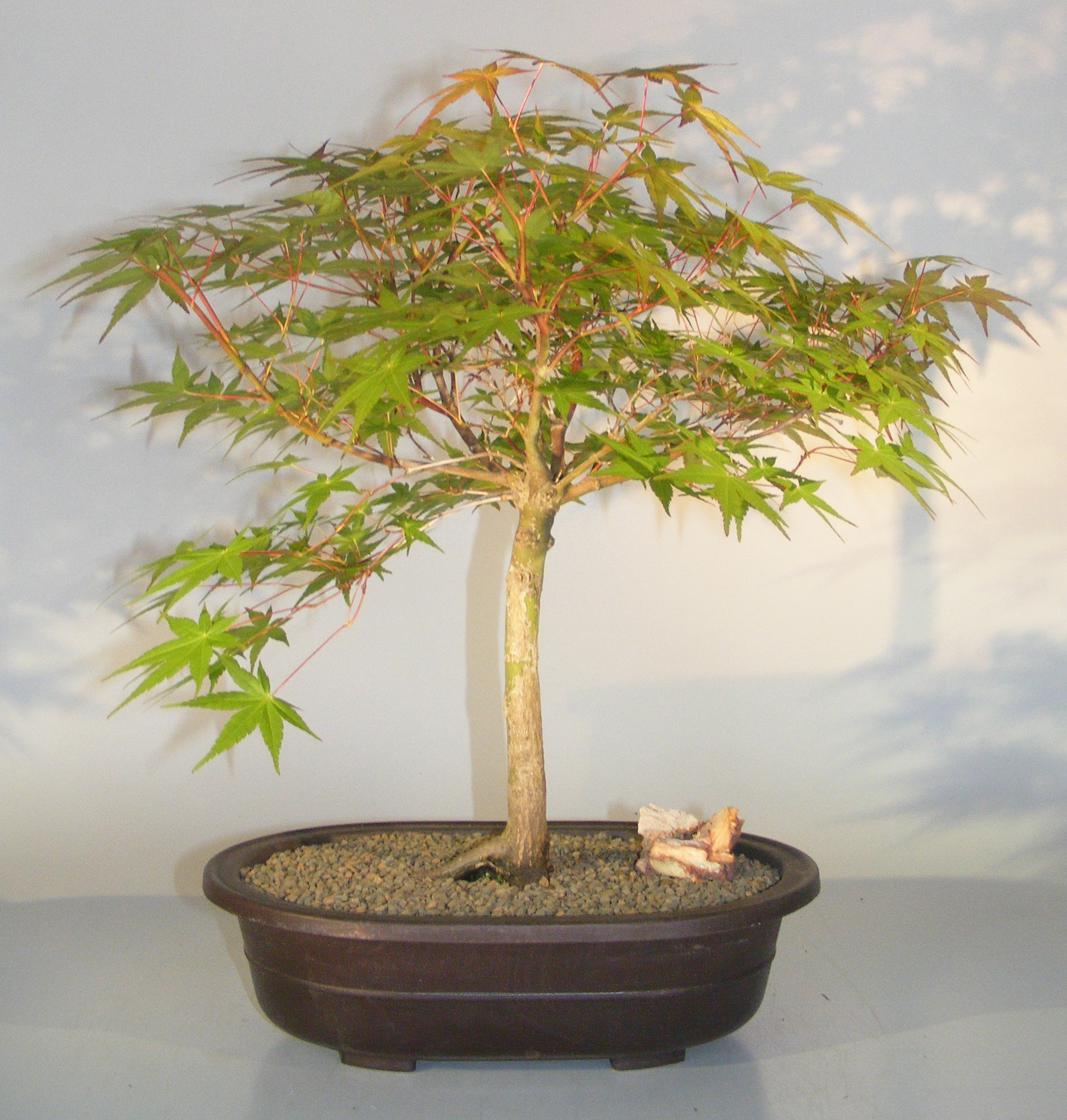 Japanese Maple Bonsai Treeacer Palmatum