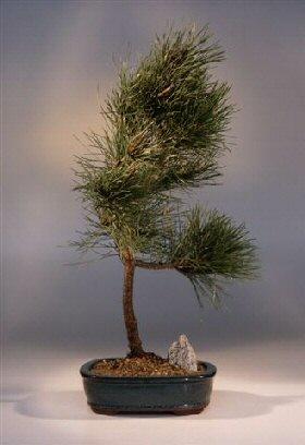 Japanese Black Pine Bonsai Tree Pinus Thunbergii Mikawa