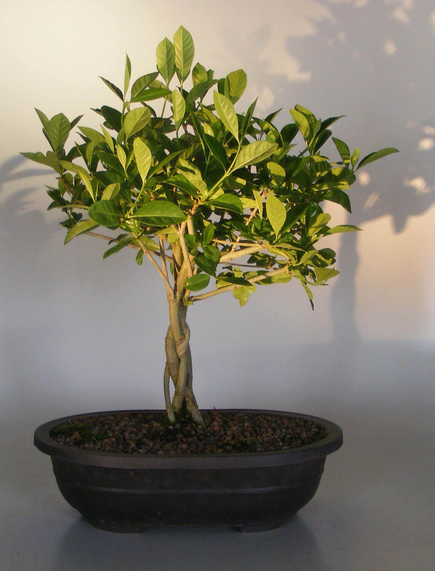 Flowering Gardenia Bonsai TreeBraided Trunk(jasminoides miami supreme) Image