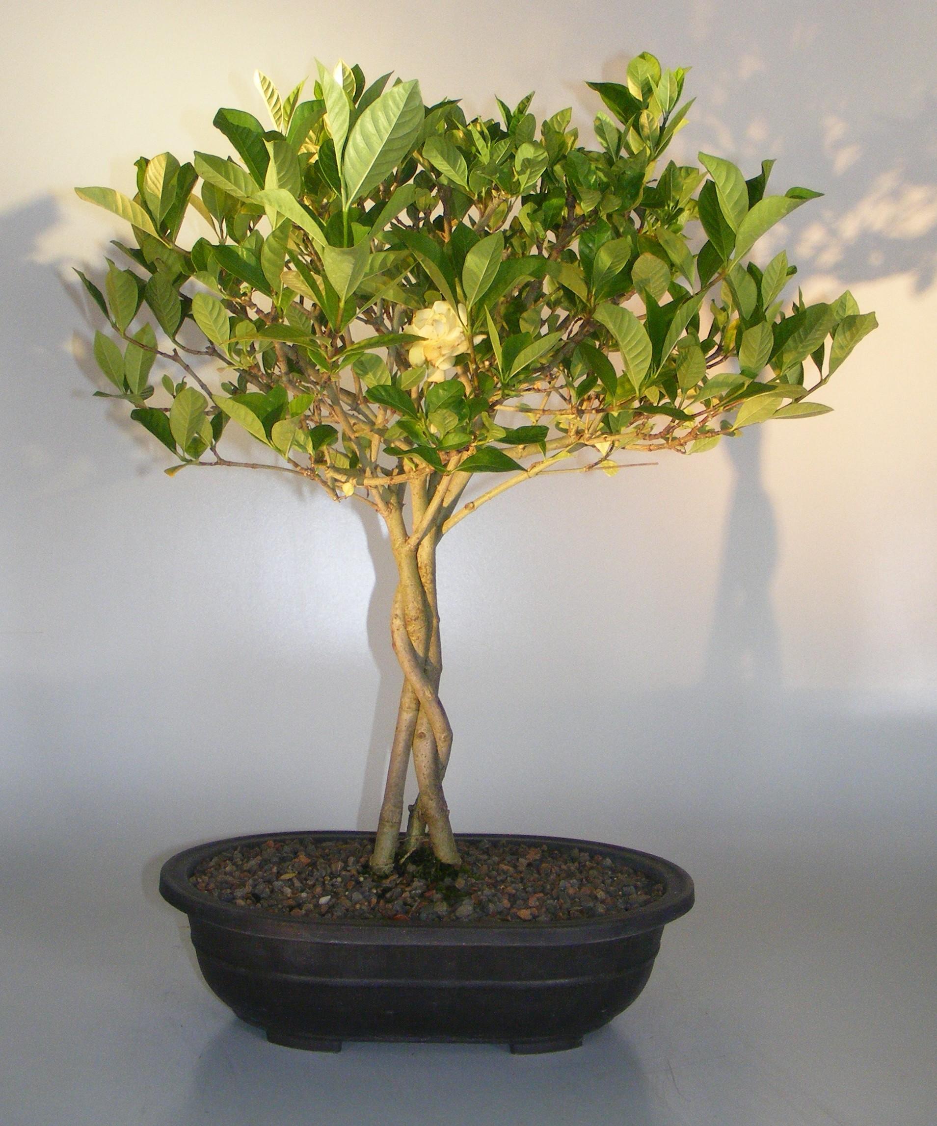 Flowering Gardenia Bonsai Tree Braided Trunk Jasminoides Miami Supreme