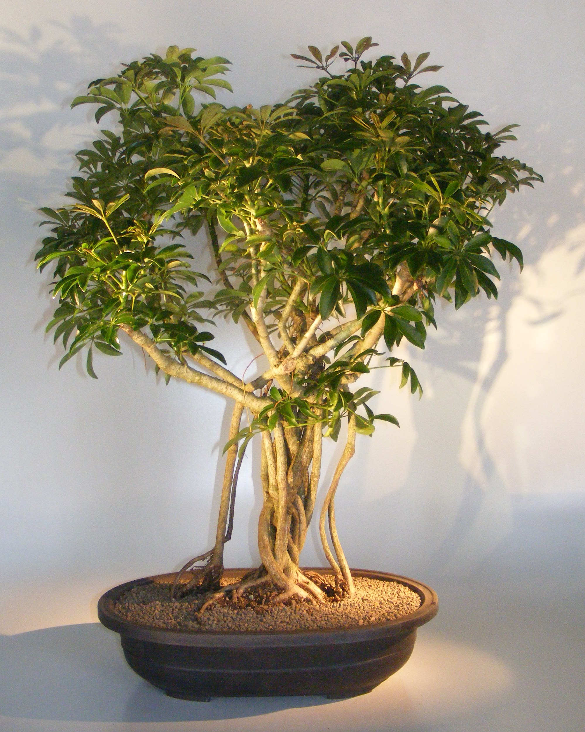 Hawaiian Umbrella Bonsai TreeBanyan Style(arboricola schfflera) Image