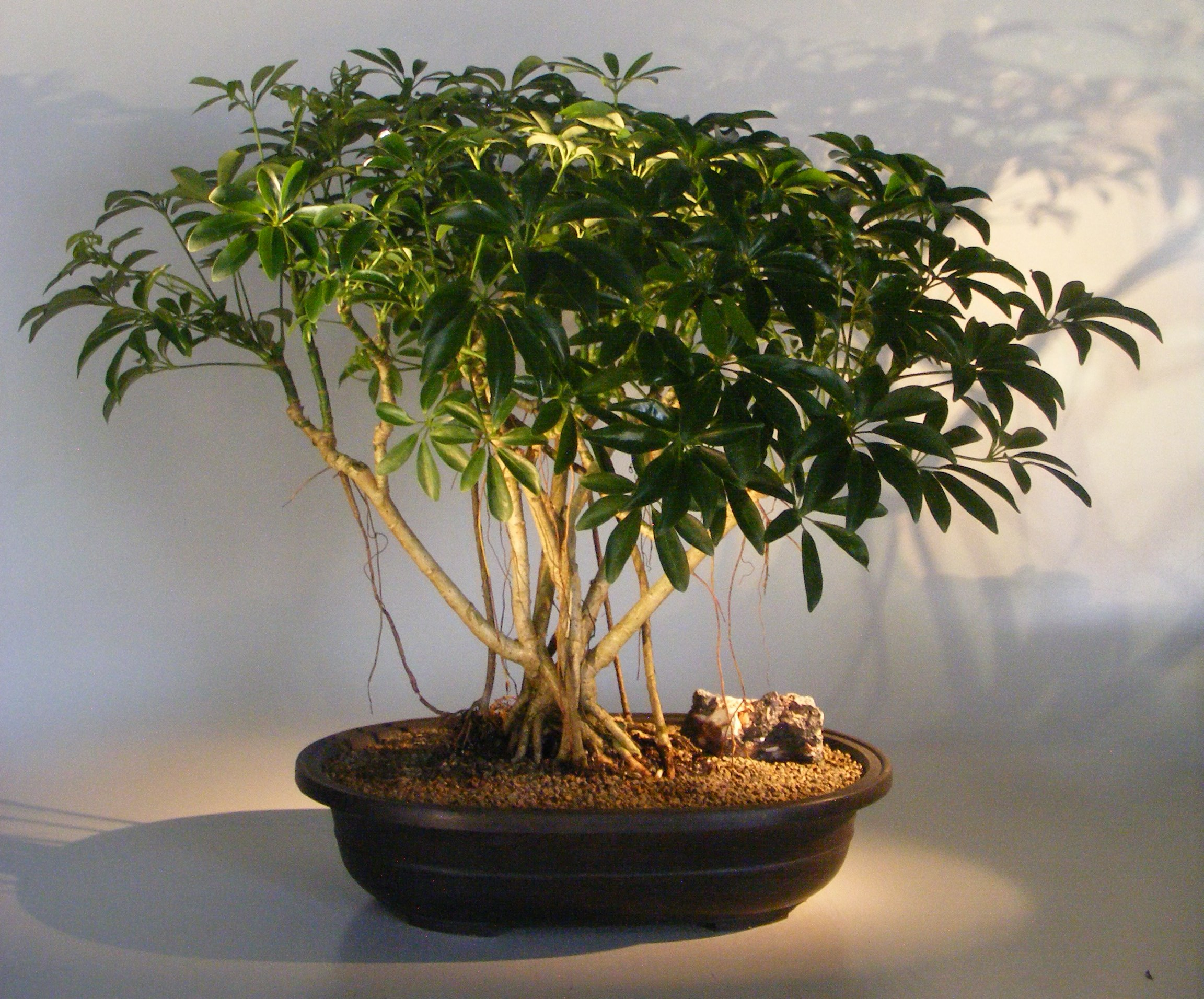 Hawaiian Umbrella Bonsai Treebanyan Style Arboricola Schfflera