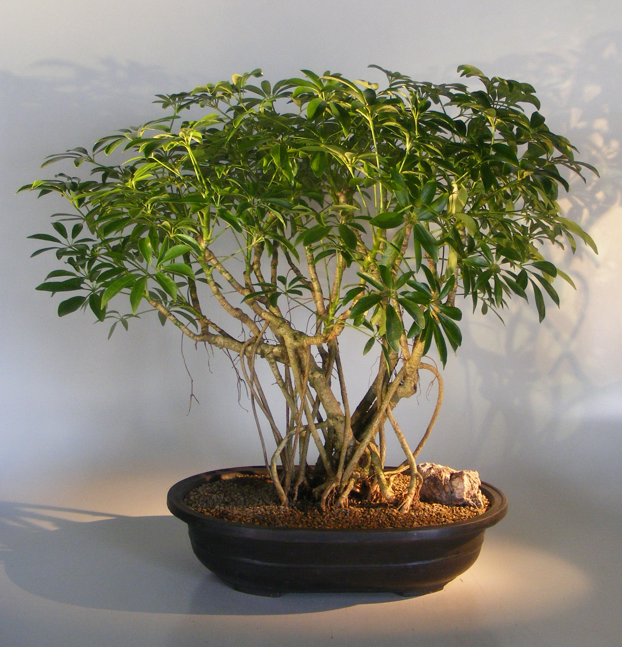 Hawaiian Umbrella Bonsai Tree Banyan Style (arboricola schfflera) Image