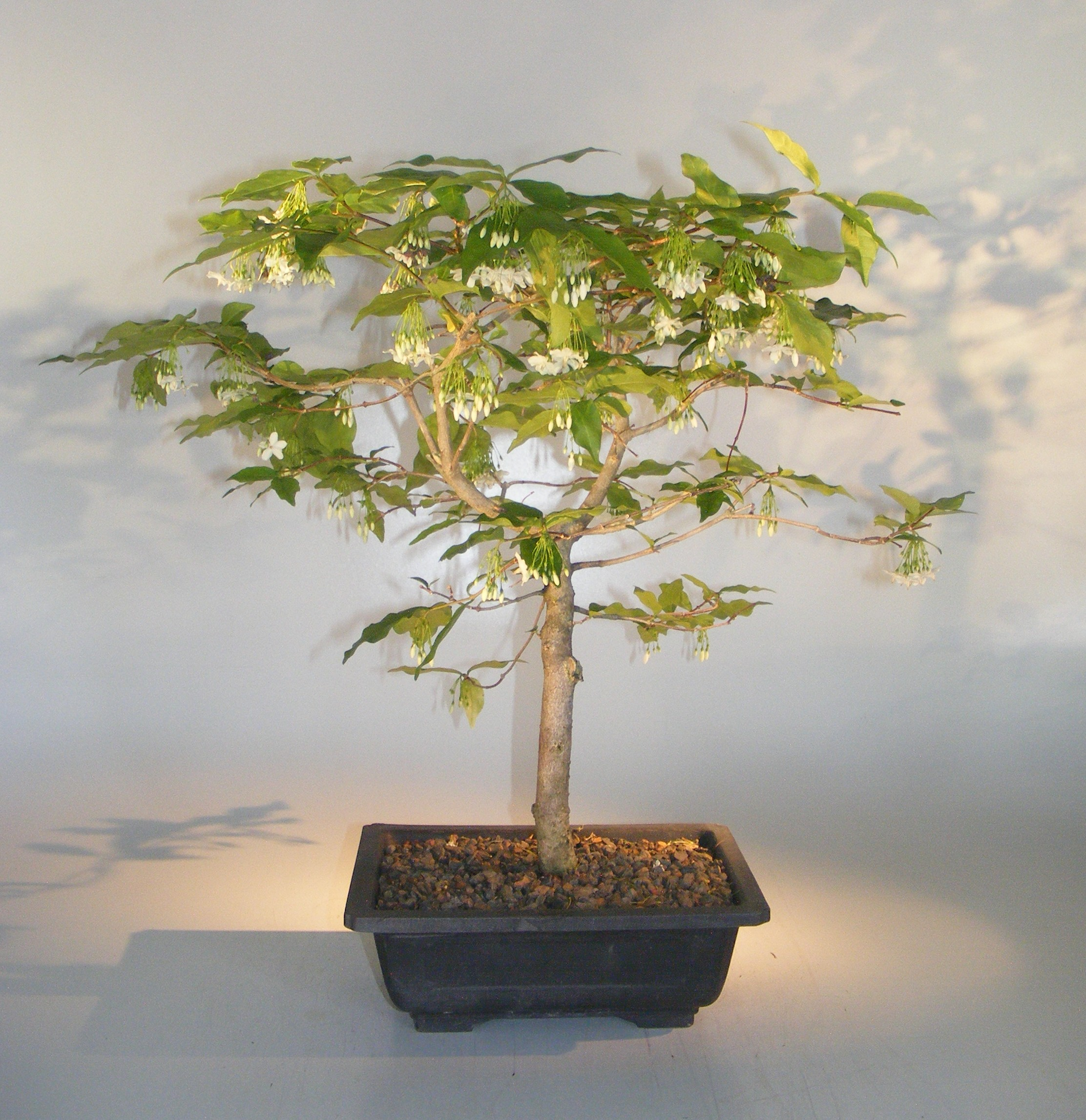 Water Jasmine Bonsai Tree Wrightia Religiosa