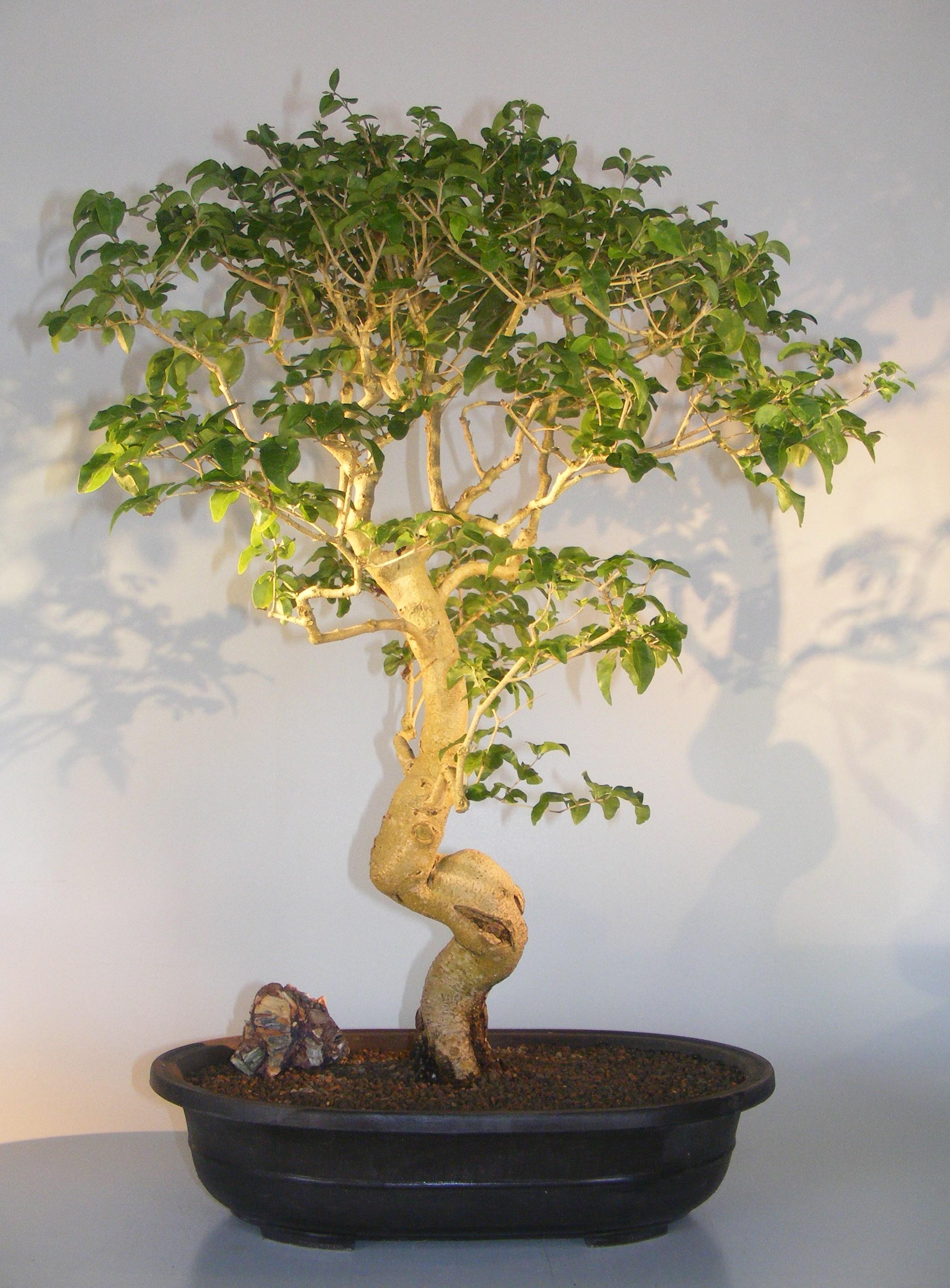 Flowering Ligustrum Bonsai TreeCurved Trunk & Tiered Branching Style(ligustrum lucidum) Image