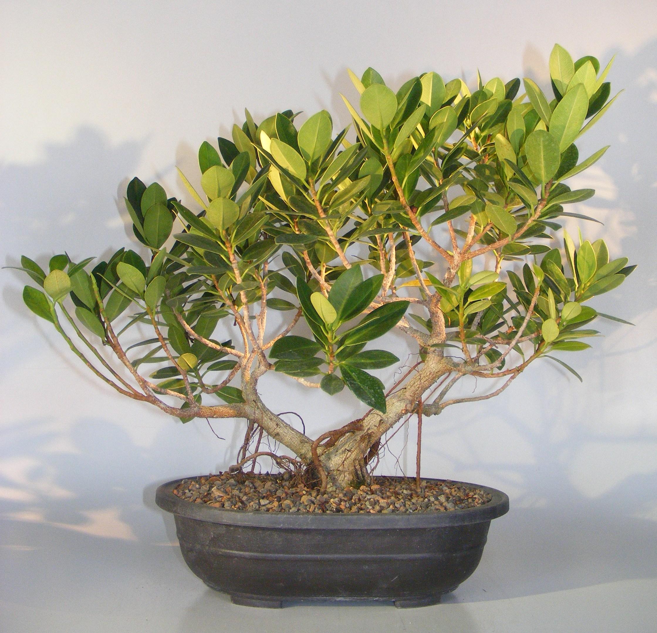 Green Island Ficus With Banyan Roots Bonsai Tree Ficus Microcarpa